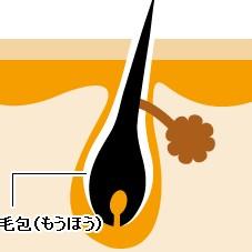 毛の仕組み